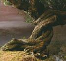 Cây liễu roi